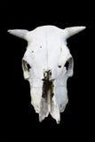 череп коровы Стоковое Изображение RF