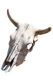 Череп коровы Стоковые Фото