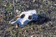 Череп коровы Стоковая Фотография RF
