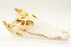 череп крокодила пресноводный Стоковое Изображение