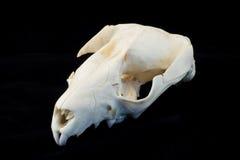 череп крысы Стоковая Фотография RF