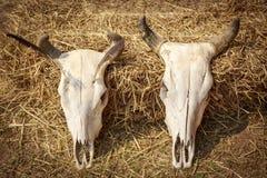 Череп натюрморта коровы Стоковая Фотография