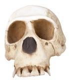 череп обезьяны Стоковые Фотографии RF