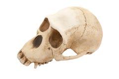 череп обезьяны Стоковые Фото