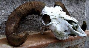 череп овец Стоковые Изображения