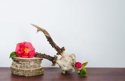Череп оленей косуль с камелиями для украшения Стоковая Фотография