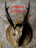 Череп оленей сидя на таблице стоковые фотографии rf