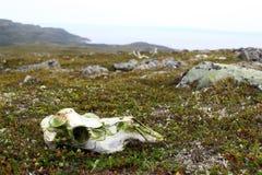 череп оленей старый Стоковое Фото