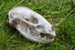 Череп от малого мертвого животного Стоковая Фотография RF