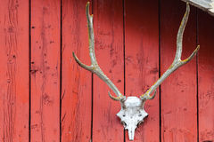Череп оленей установленный на красной деревянной стене Стоковая Фотография