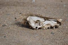 череп свиньи одичалый Стоковое Изображение RF