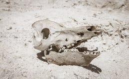 Череп скотин в пустыне Стоковая Фотография