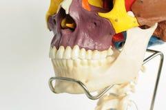 череп человека анатомирования Стоковая Фотография