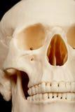 череп человека крупного плана Стоковое Изображение