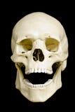 череп Стоковое фото RF