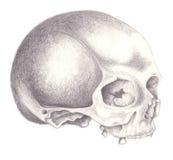 череп Стоковая Фотография RF