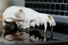 Череп Fox без нижней челюсти на клавиатуре компьтер-книжки Концепция опасностей ИТ Tehology и искусственного Стоковое фото RF