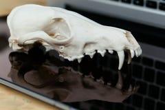 Череп Fox без нижней челюсти на клавиатуре компьтер-книжки Концепция опасностей ИТ Tehology и искусственного Стоковая Фотография RF
