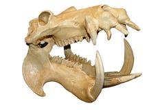 череп hippopotamus стоковое изображение