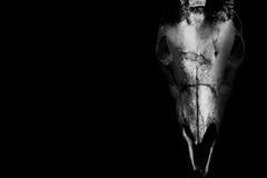 Череп horned животного изолированного на черноте Стоковые Фото