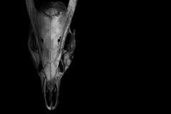 Череп horned животного изолированного на черноте Стоковое фото RF