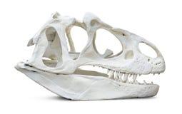 Череп Rex тиранозавра стоковые изображения rf