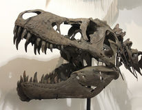 Череп T-Rex на ископаемых & минералах GeoDecor Стоковая Фотография