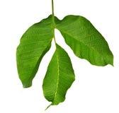 Черкесские лист зеленого цвета грецкого ореха изолированные на белизне Стоковые Фото