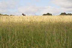 Черная антилопа гну Стоковое Изображение
