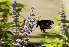 Черная бабочка монарх стоковая фотография rf
