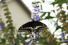 Черная бабочка монарх Стоковые Фото