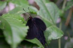 Черная бабочка на зеленых лист стоковое фото