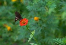 Черная бабочка на красном цветке Стоковая Фотография RF