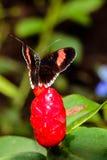 Черная бабочка на красном цветке Стоковые Фото