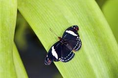 черная бабочка тропическая Стоковое фото RF