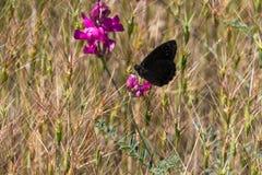 черная бабочка Стоковые Изображения RF
