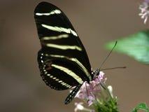 Черная бабочка стоковое изображение rf