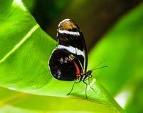 черная бабочка стоковое изображение