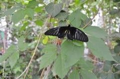черная бабочка Стоковые Фото