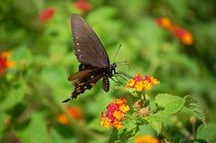 Черная бабочка swallowtail на цветках lantana Стоковые Фотографии RF