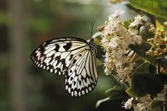 черная белизна бабочки Стоковое Изображение RF