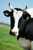 черная белизна выгона зеленого цвета травы коровы milch Стоковое Изображение
