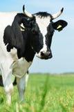 черная белизна выгона зеленого цвета травы коровы milch Стоковые Фото