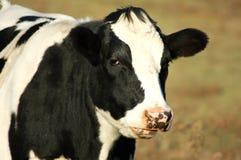 черная белизна коровы Стоковое фото RF