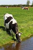 черная белизна коровы Стоковые Изображения