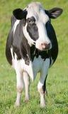 черная белизна коровы Стоковая Фотография
