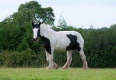 черная белизна лошади Стоковое Изображение