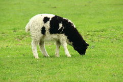 черная белизна овечки Стоковые Фотографии RF