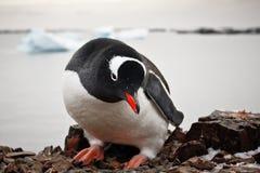 черная белизна пингвина Стоковая Фотография