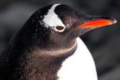 черная белизна пингвина Стоковые Фото